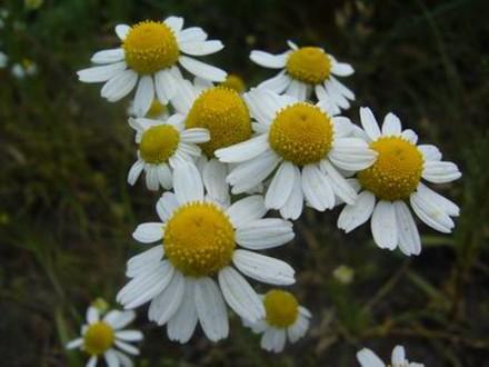 Kamilica u aromaterapiji